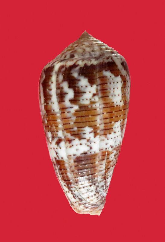 Conus (Pionoconus) achatinus  Gmelin, 1791 - Page 2 C_achati12