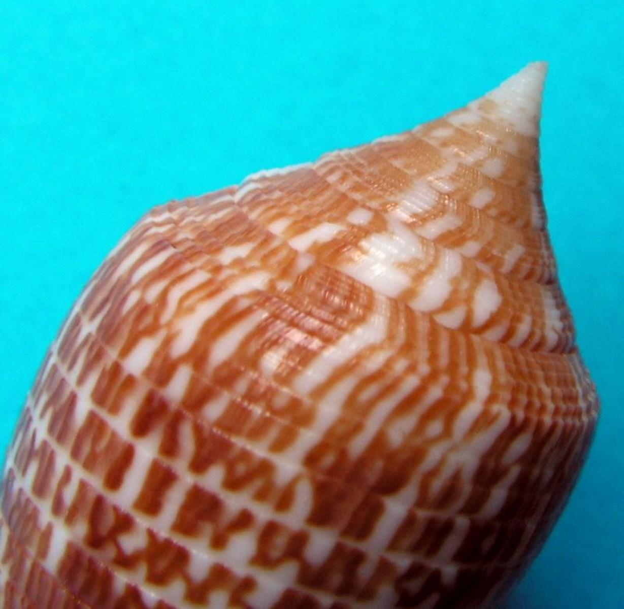 Conus (Phasmoconus) armadillo  Shikama, 1971 C_arma_0