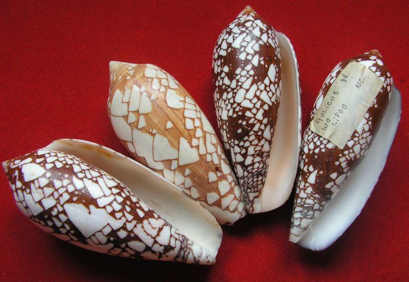 Conus (Darioconus) aulicus   Linnaeus, 1758 C_auli2