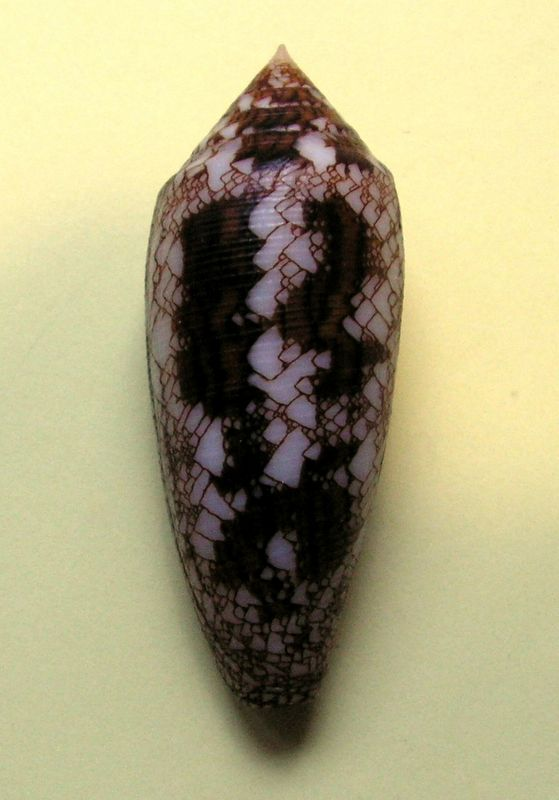 Conus (Cylinder) aureus   Hwass in Brugière, 1792 C_aureus13