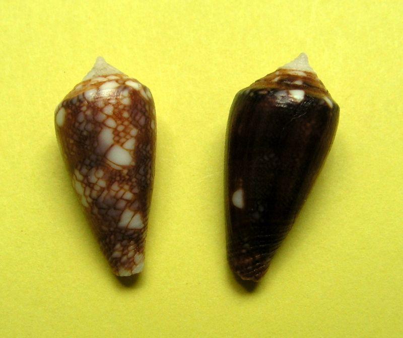 Conus (Cylinder) barbieri    Raybaudi, 1995 C_barbier10