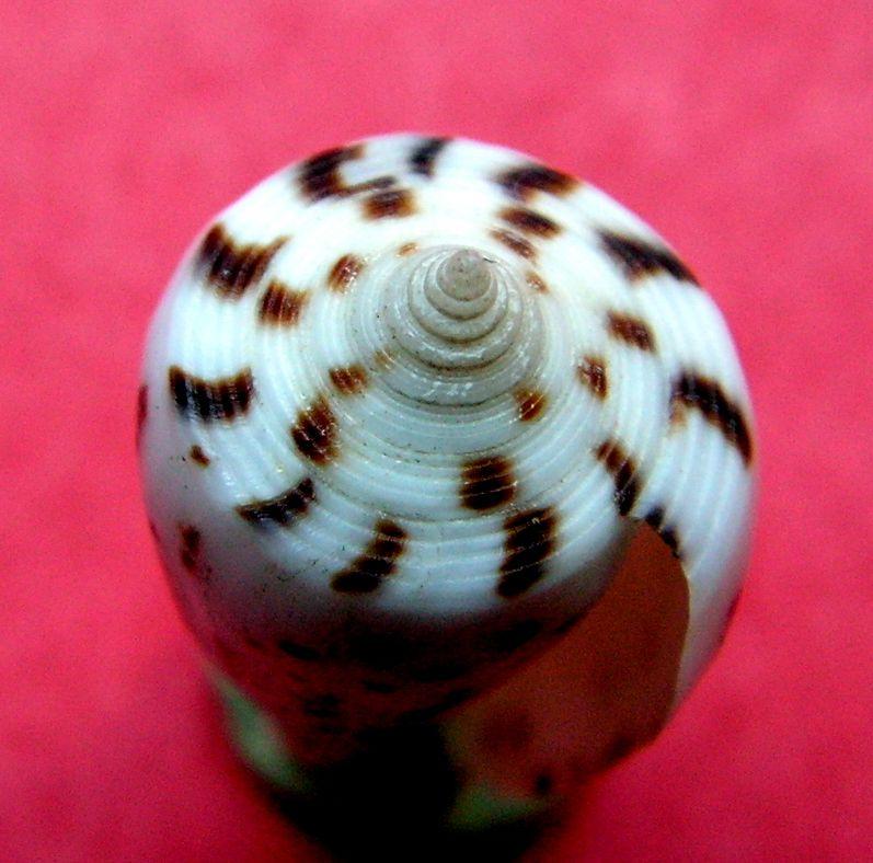 Conus (Phasmoconus) blanfordianus  Crosse 1867 C_blanfo_0