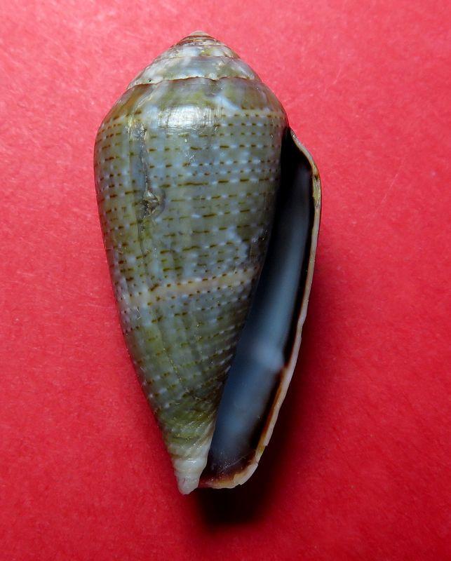 Conus (Lautoconus) bruguieresi    Kiener, 1846 - Page 2 C_bruguie13