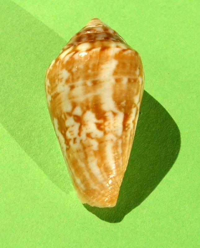 Conidae Californiconus californicus  (Reeve, 1844) C_califor11