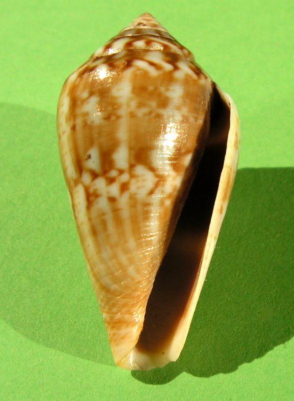 Conidae Californiconus californicus  (Reeve, 1844) C_califor12