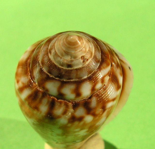 Conidae Californiconus californicus  (Reeve, 1844) C_califor_0