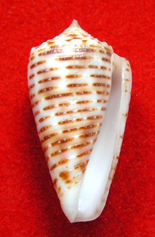 Conus (Phasmoconus) cebuensis   Wils, 1990 C_cebuen13