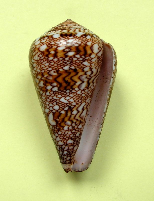 Conus (Cylinder) dalli   Stearns, 1873 C_dalll13