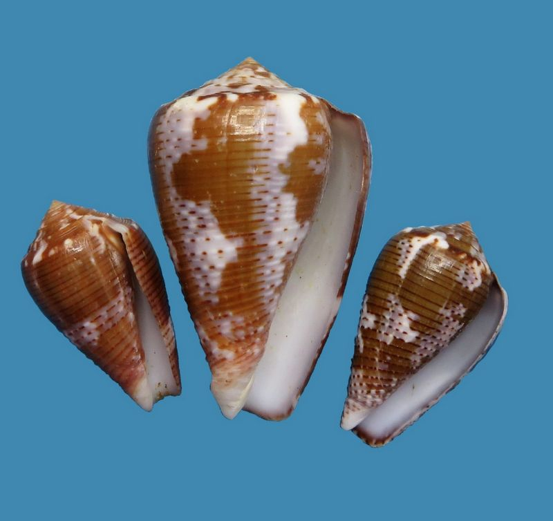 Conus (Pionoconus) easoni   (Petuch & Berschauer, 2018) - Page 2 C_easoni21