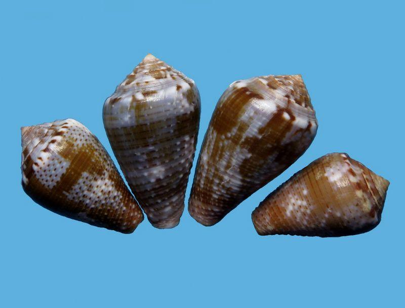 Conus (Pionoconus) easoni   (Petuch & Berschauer, 2018) - Page 2 C_easoni10