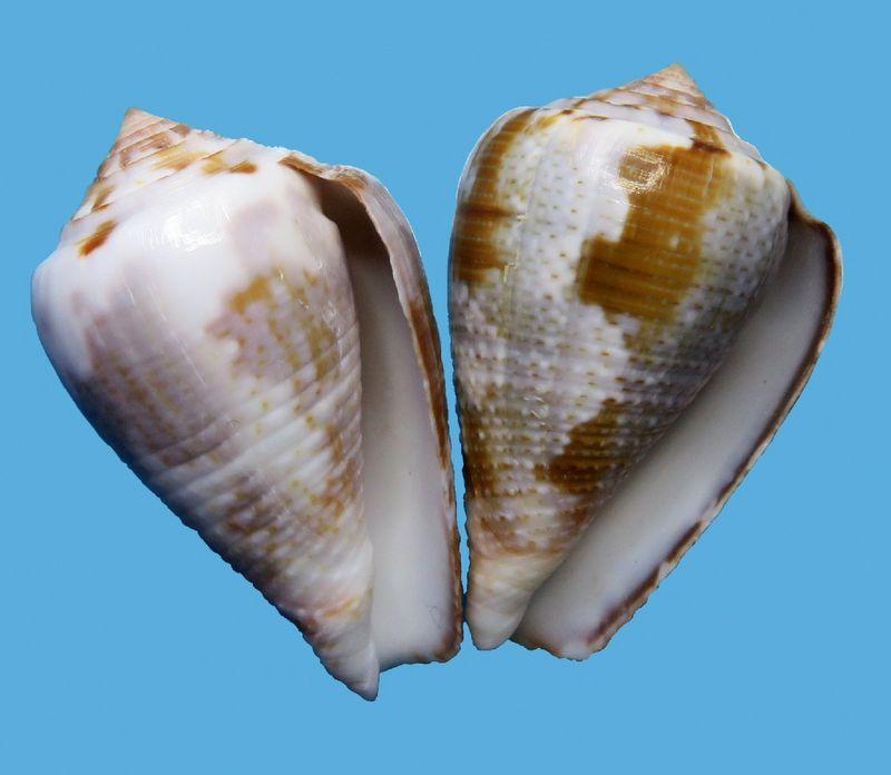 Conus (Pionoconus) easoni   (Petuch & Berschauer, 2018) - Page 2 C_easoni18