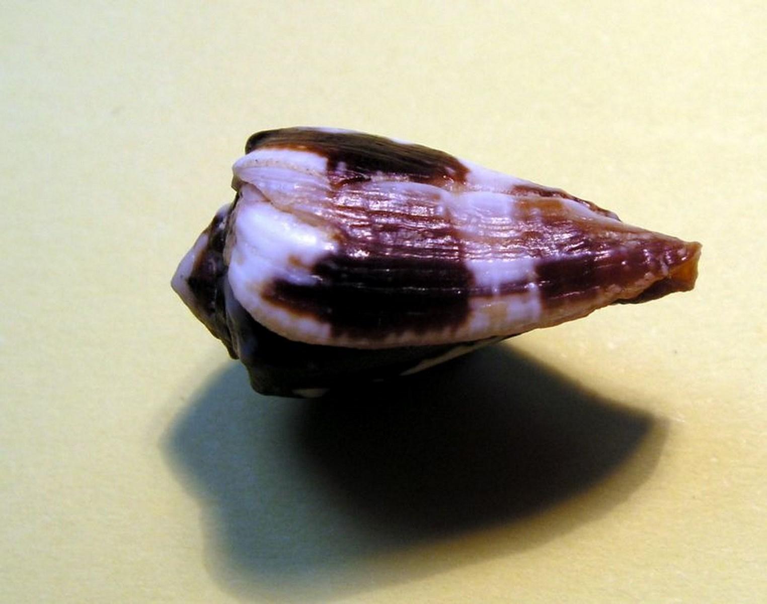 Conus (Phasmoconus) exiguus   Lamarck, 1810  C_exigu10