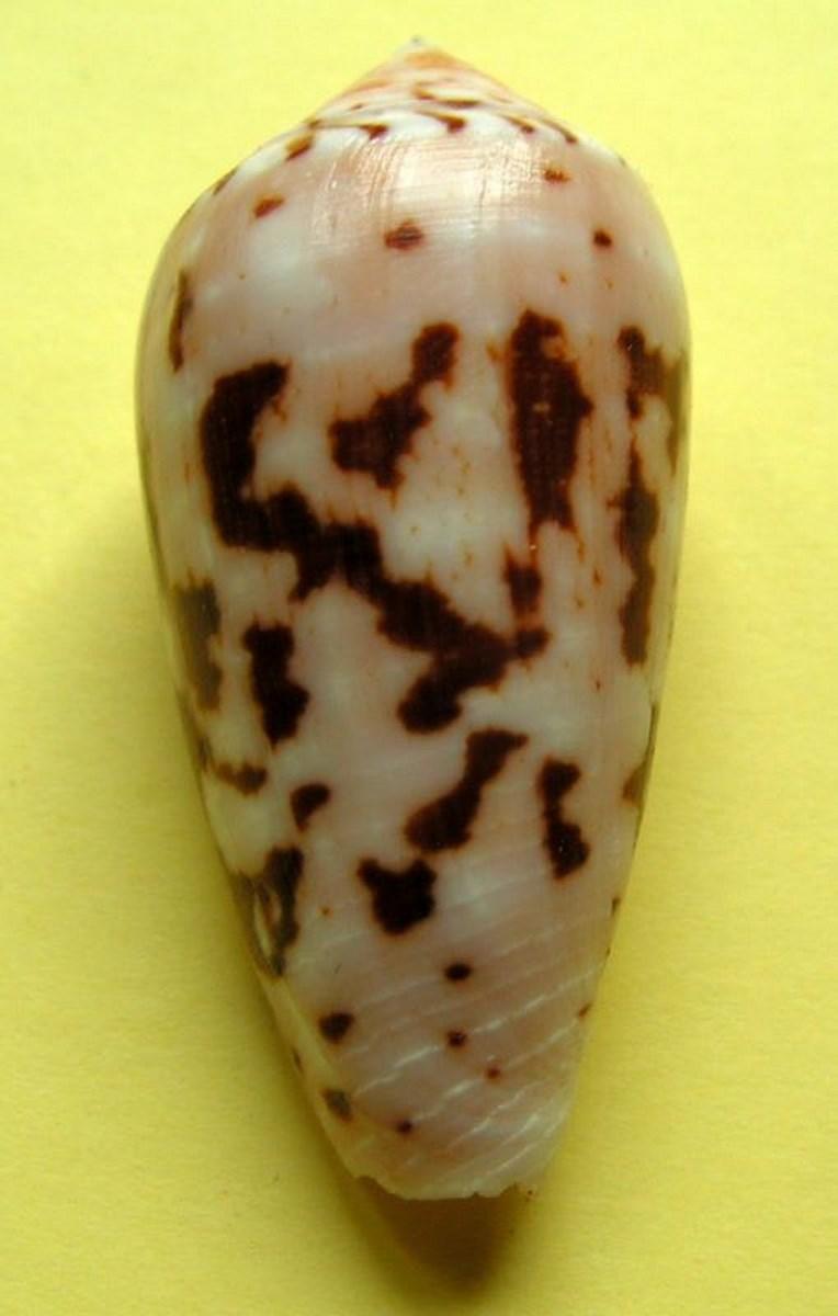 Conus (Pionoconus) floccatus   GB Sowerby I, 1841 - Page 2 C_flocc12