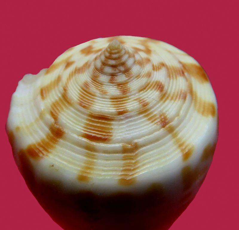 Conus (Phasmoconus) maculospirus   (Pilsbry, 1922) voir Conus (Ph.) inscriptus C_inscmacu26