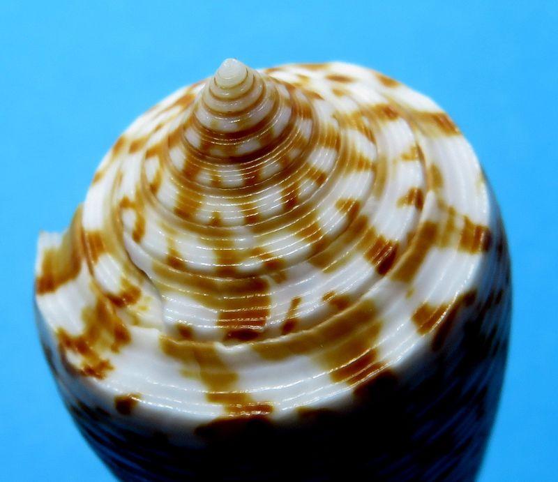 Conus (Phasmoconus) laterculatus   GB. Sowerby II, 1870 C_laterc16