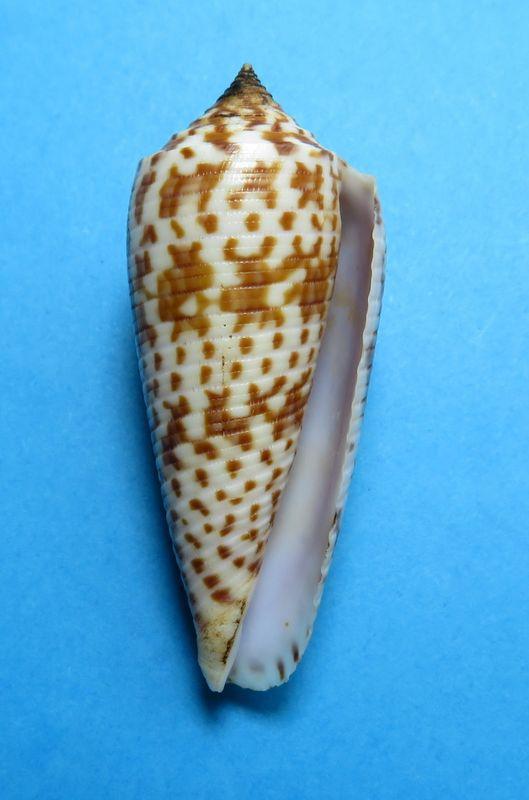 Conus (Phasmoconus) laterculatus   GB. Sowerby II, 1870 C_laterc19
