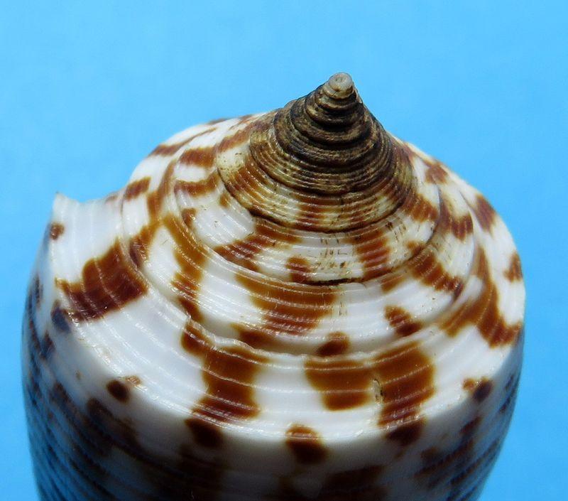 Conus (Phasmoconus) laterculatus   GB. Sowerby II, 1870 C_laterc_0