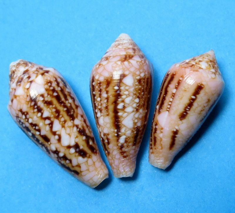 Conus (Cylinder) legatus   Lamarck, 1810 C_legatu10
