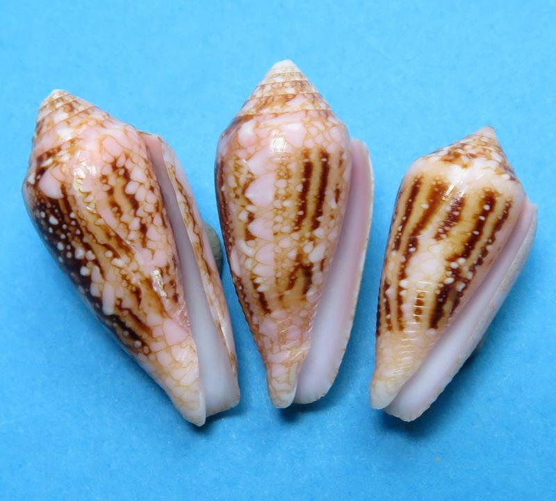 Conus (Cylinder) legatus   Lamarck, 1810 C_legatu11