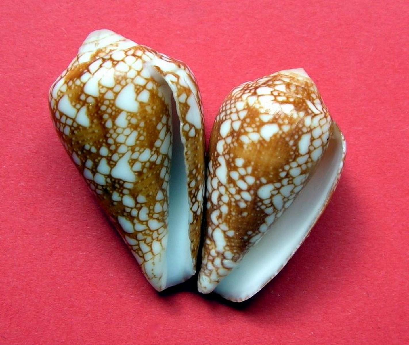 Conus (Darioconus) leviteni   (Tucker, Tenorio & Chaney, 2011) C_levite13