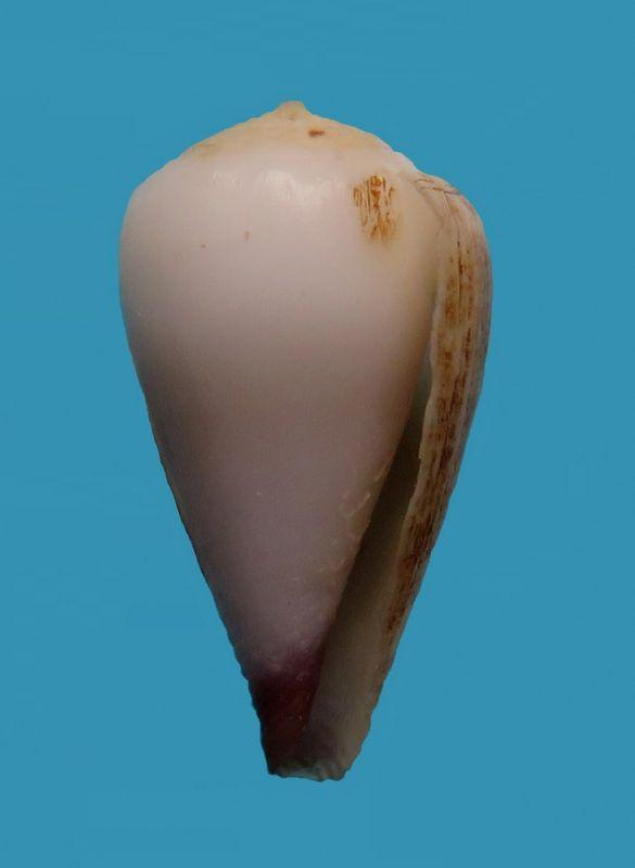 Conus (Harmoniconus) mcbridei   Lorenz, 2005 C_mcbrid12