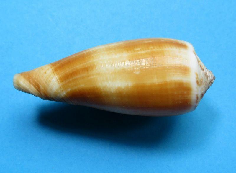 Conus (Pionoconus) carinatus (Swainson, 1822) voir Conus (Pionoconus) magus C_magucari13