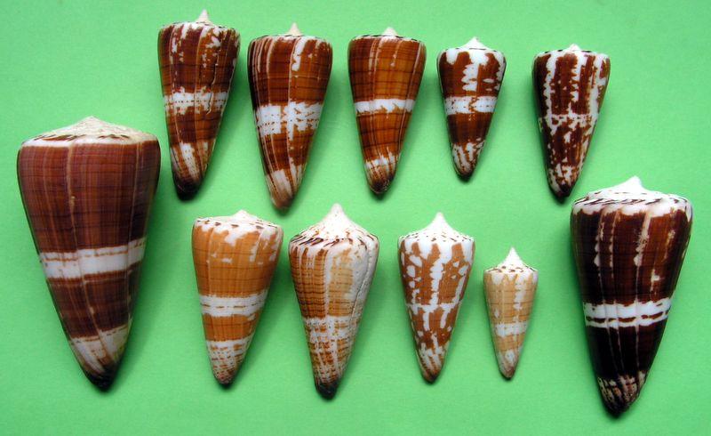 Conus (Strategoconus) maldivus   Hwass in Bruguière, 1792 - Page 2 C_mald20
