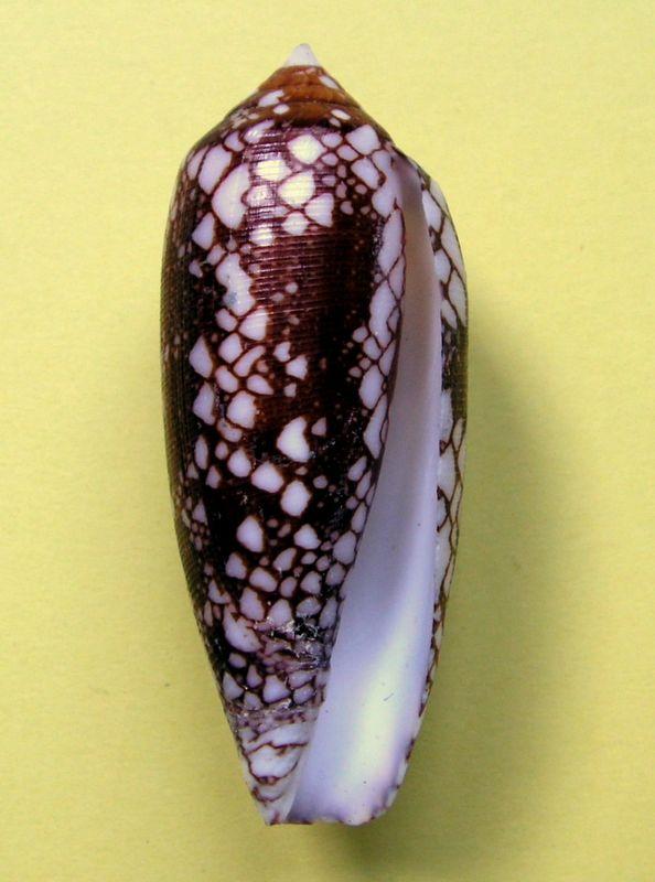 Conus (Darioconus) michelcharlesi (Monnier, Limpalaer & Prugnaud, 2020) C_michharl13