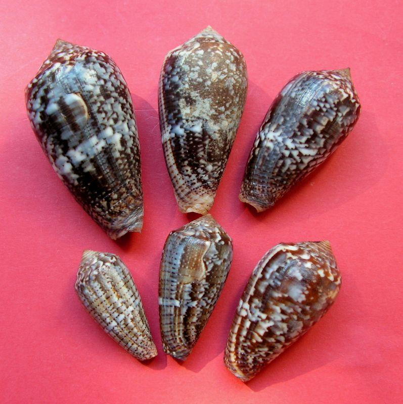 Conus (Pionoconus) monachus  (Linnaeus, 1758)  C_monch10