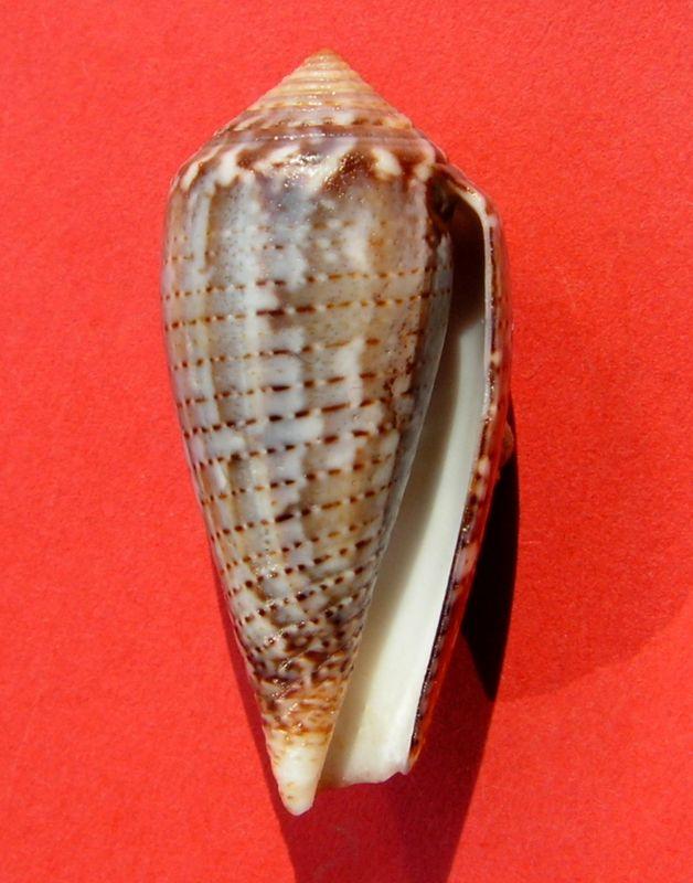 Conus (Pionoconus) monachus  (Linnaeus, 1758)  C_monch18