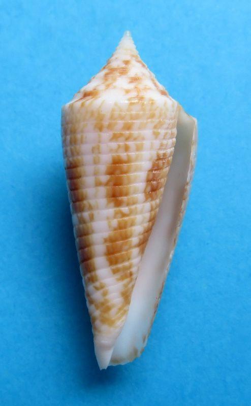 Conus (Phasmoconus) neptunus   Reeve, 1843 C_neptu26