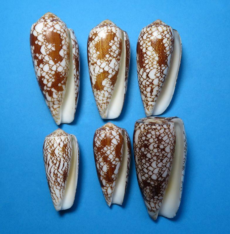Conus (Darioconus) omaria magoides   Melvill, 1900 C_omarmago11
