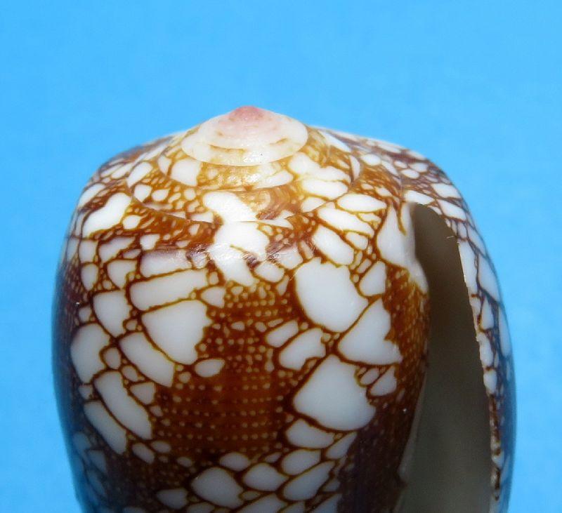 Conus (Darioconus) omaria magoides   Melvill, 1900 C_omarmago17