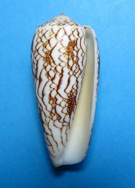 Conus (Darioconus) omaria magoides   Melvill, 1900 C_omarmago20