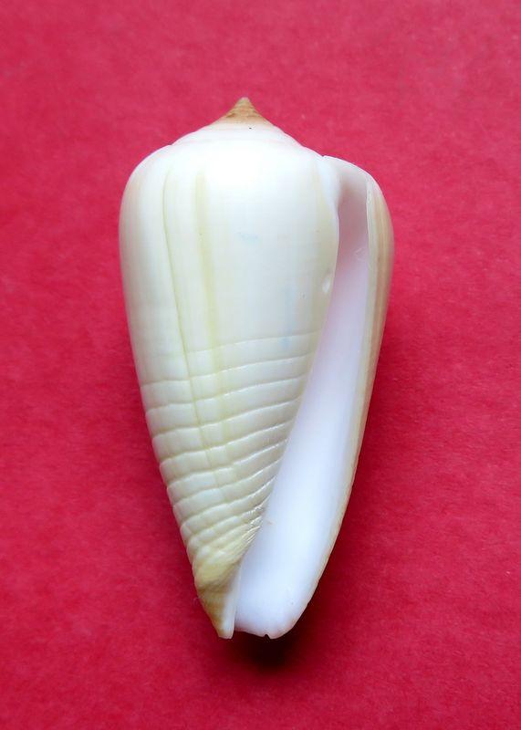Conus (Phasmoconus) parius  Reeve, 1844 C_parius12