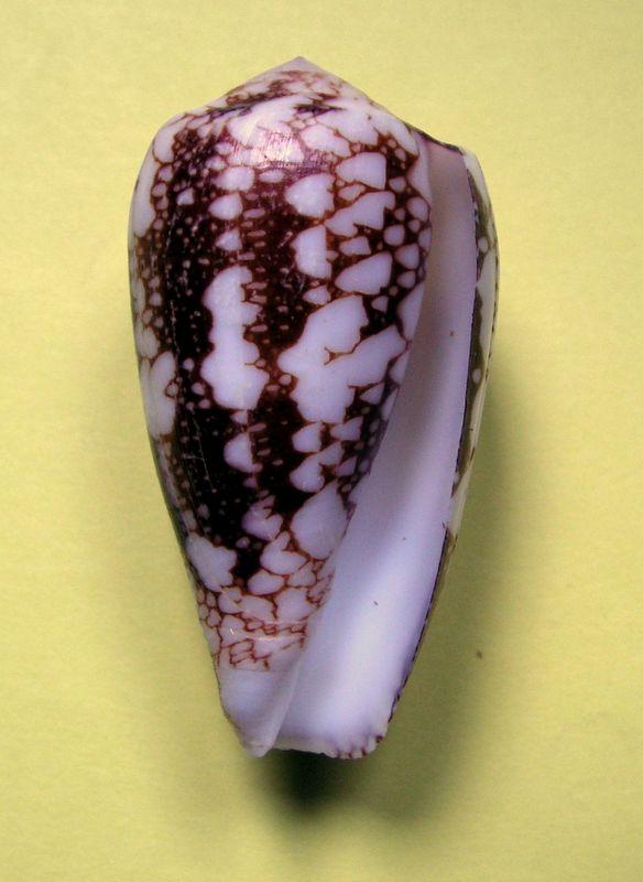 Conus (Darioconus) episcopus forme de Rodrigues C_penepi21