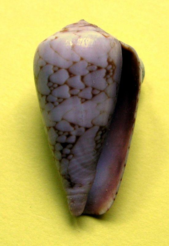 Conus (Darioconus) pennaceus bazarutensis   Fernandes & Monteiro, 1988 C_penbaza13