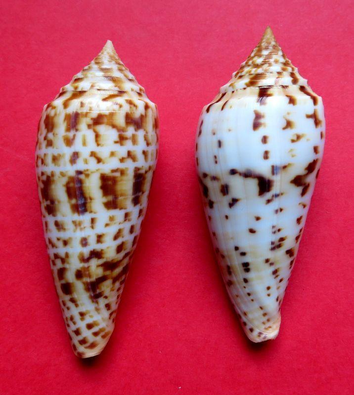Conus (Phasmoconus) pretiosus  G. Nevill & H. Nevill, 1874 C_phuket15