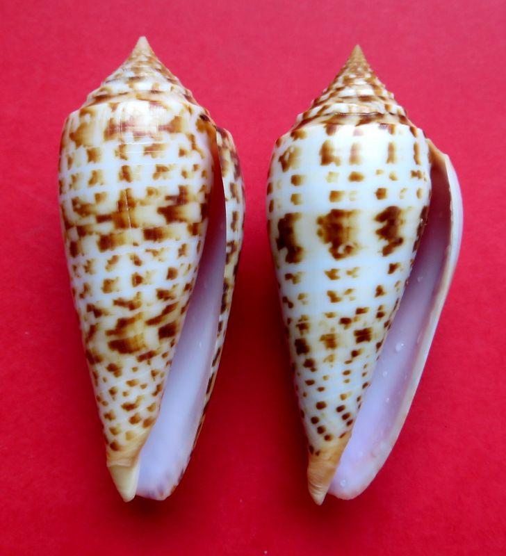 Conus (Phasmoconus) pretiosus  G. Nevill & H. Nevill, 1874 C_phuket16