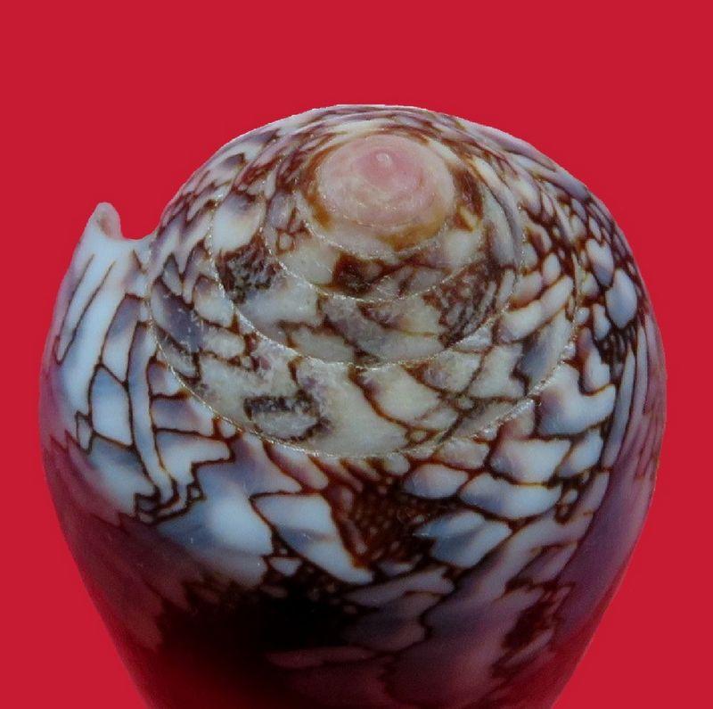 Conus (Darioconus) pennaceus Born, 1778  du Mozambique C_praelatus24