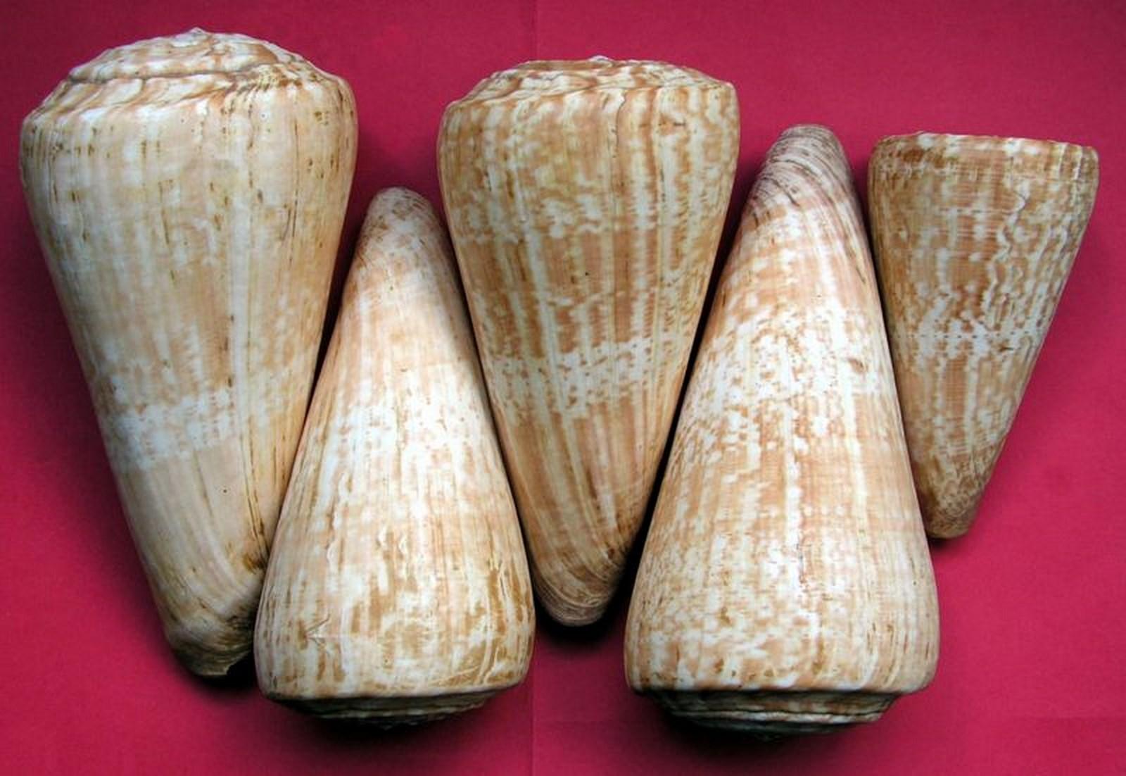 Conus (Kalloconus) pulcher  [Lightfoot], 1786 C_promet10