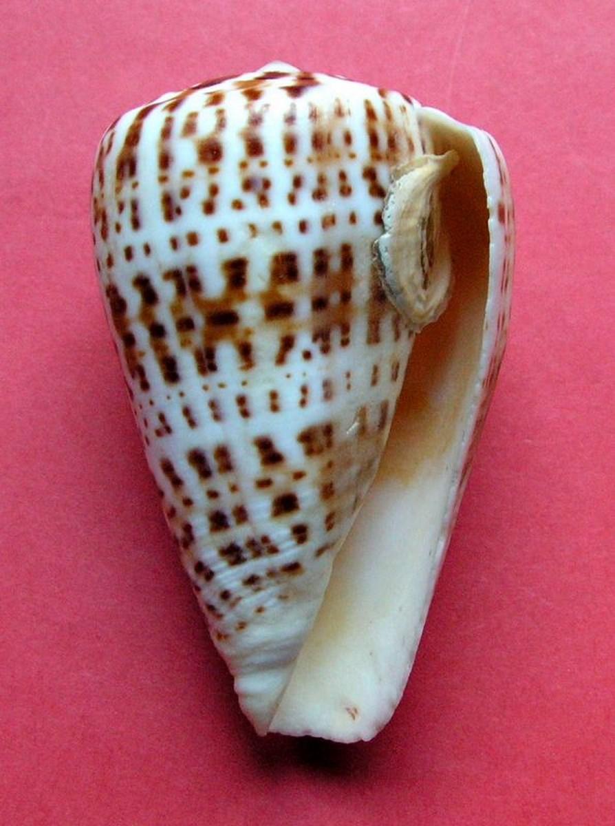 Gastéropodes burdigaliens du S.O. C_byssi13
