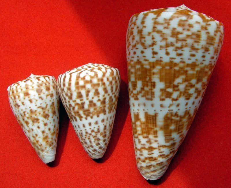 Conus (Kalloconus) pulcher  [Lightfoot], 1786 C_pulpul10