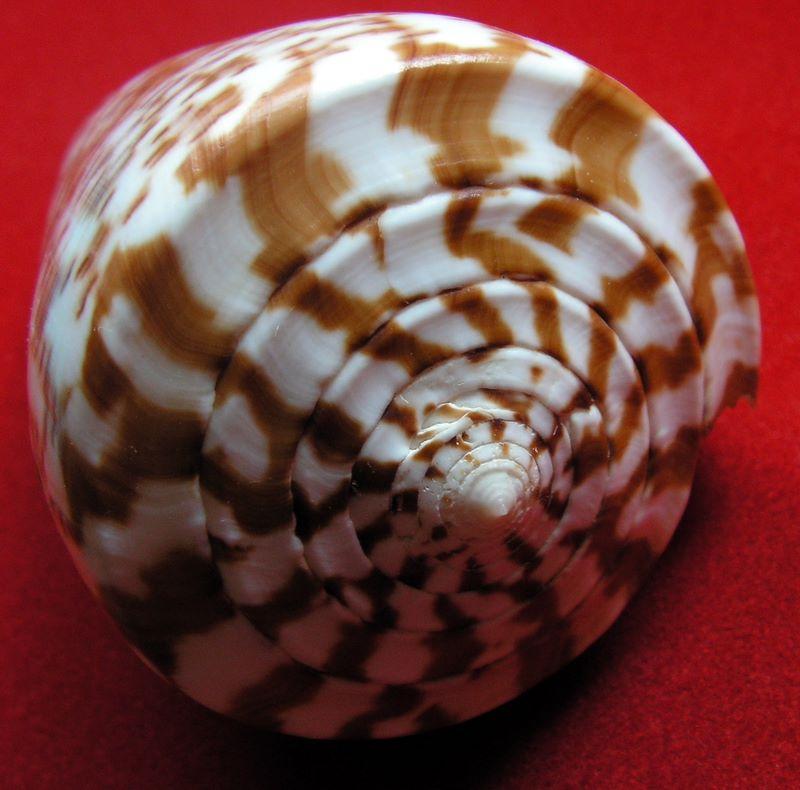 Conidae Conus (Kalloconus) - Le genre, ses espèces, la planche 03/03 C_pulpul21