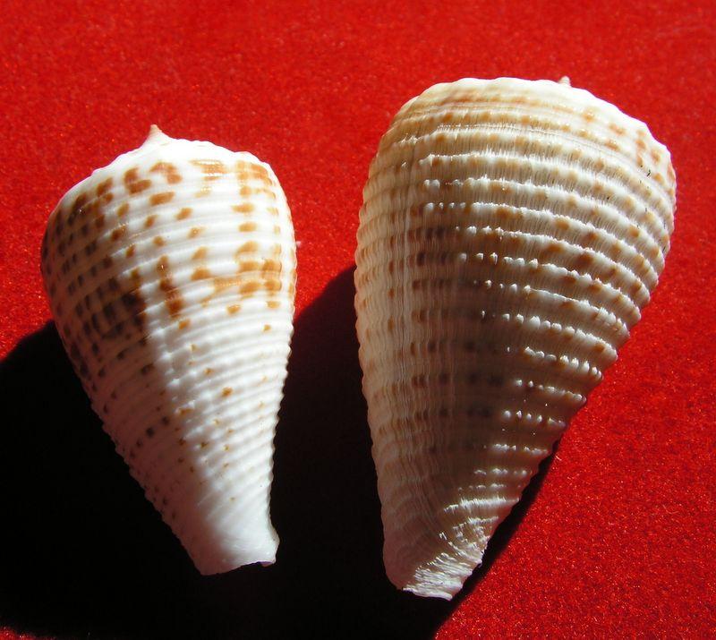 Conus (Asprella) rolani (Röckel, 1986) C_rolani10