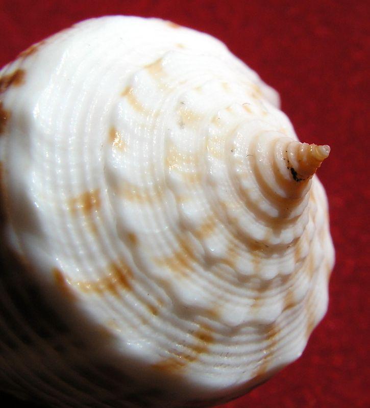 Conus (Asprella) rolani (Röckel, 1986) C_rolani18