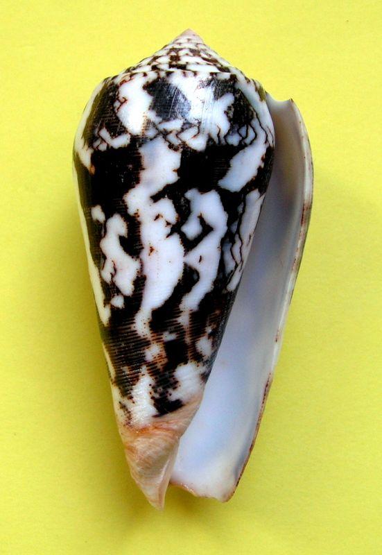 Conus (Pionoconus) striatus juliaallaryae   Cossignani, 2013 C_strijuli13