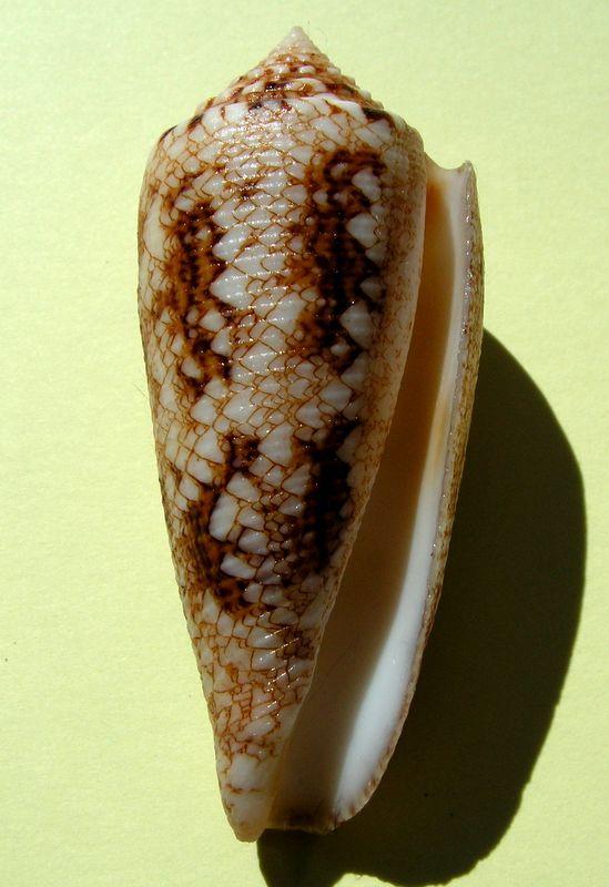 Conus (Cylinder) tagaroae   (Limpalaër & Monnier, 2013) C_tagaro15