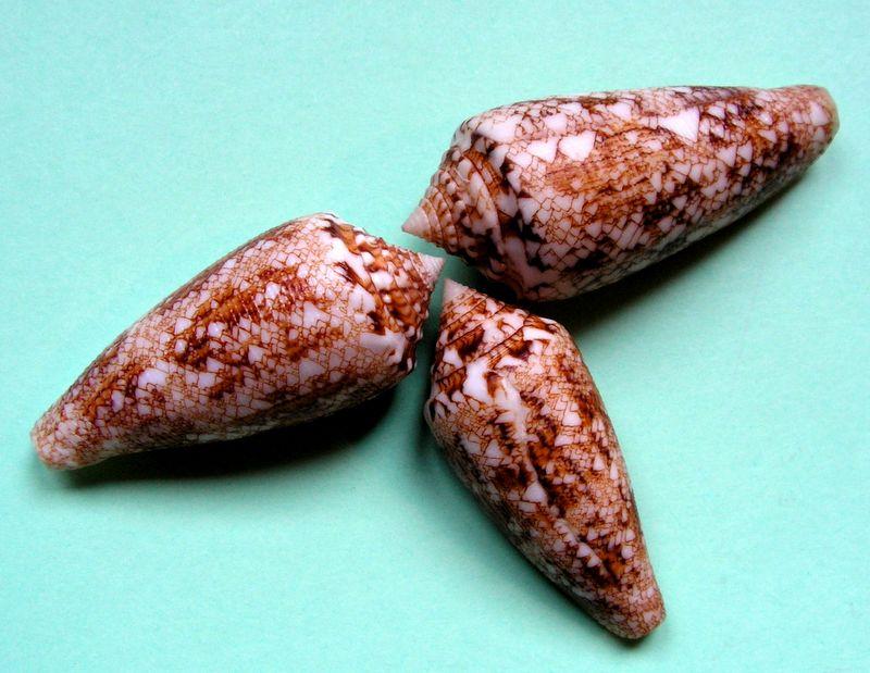 Conus (Cylinder) tagaroae   (Limpalaër & Monnier, 2013) C_tagaro19