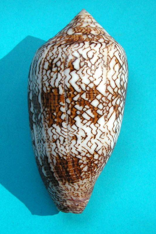 Conus (Cylinder) textile   Linnaeus, 1758 - Page 7 C_textnoum18